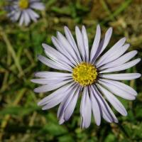 Aster-amelle-p9200011 600