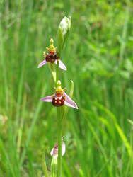 ophrys abeille3